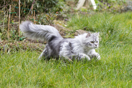 Grey Persian cross Ragdoll and ginger kittens on grass