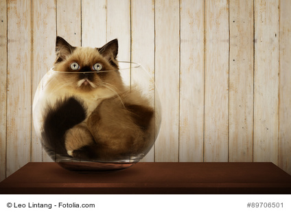Cute persian cat inside glass bowl on the wooden desk